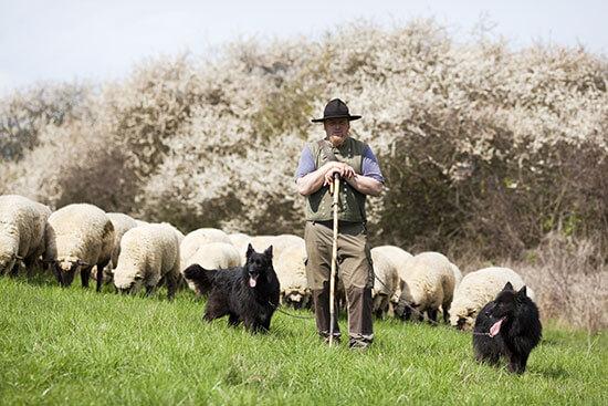 man herding sheep